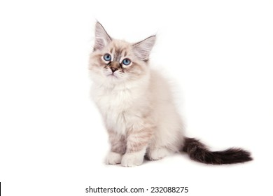 Small Siberian Neva Masquerade kitten on white background. Cat sitting.