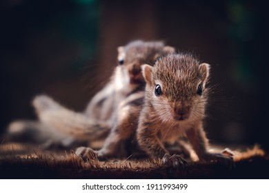 Small sibling squirrel baby rides big brothers back, cute adorable animal-themed photograph, three-striped palm squirrel babies are abandoned by parents after birth, wondering and playing together,