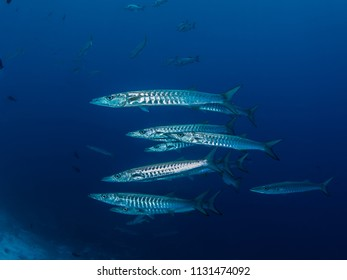 A small silvery shoal of chevron barracuda on a blue deep water background