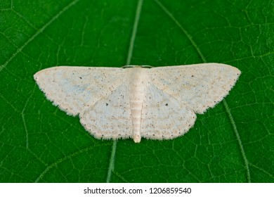 a small simple wave moth on green leaf