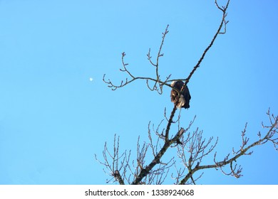 A small, single white feather drifts away form an eagle perched on bare branches preening.