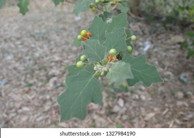 Small sized fruits of Solanum trilobatum, commonly known as Brinjal, in vivid colors, herbal plant, full of thorns on stem and leaves, can be consumed by mildly frying it in oil and then grinding it