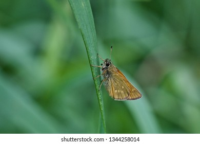 A small skipper butterfly on a grass blade (nature of Western Siberia).