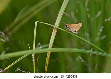 A small skipper butterfly on sedge (nature of Western Siberia).