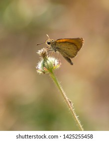 Small skipper butterfly (Thymelicus sylvestris) isolated on a hairy flower bud, with natural earth tones in soft focus at the background.