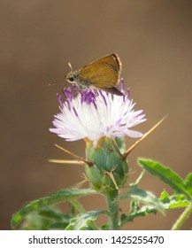 Small skipper butterfly (Thymelicus sylvestris) isolated on a purple star thistle flower (Centaurea calcitrapa), with bright green foliage and natural earth tones in soft focus at the background.