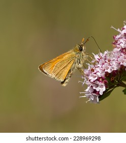 A Small Skipper feeding on a wildflower.
