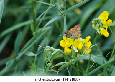 A small skipper (thymelicus sylvestris)   butterfly on yellow flowers. Location: Western Siberia.