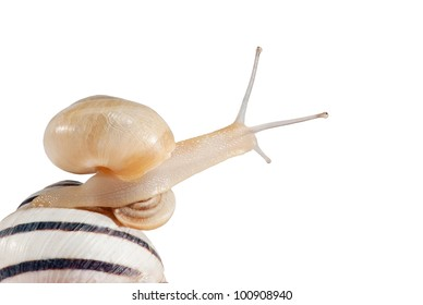 Small snail on the big snail looking around. Isolated on white.