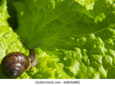 small snail on the leaf of the green lettuce