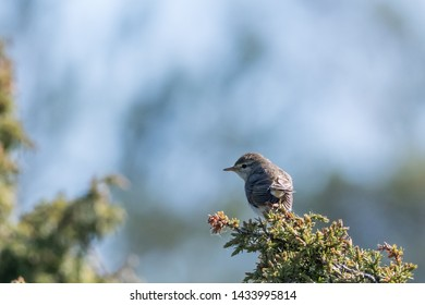 Small songbird, Lesser Whitethrout, Sylvia Curruca, sitting on a juniper twig