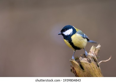 Small songbird named great tit, perched on a wooden branch.