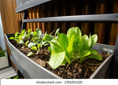 Small space container gardening. Self watering black trough containing lettuce, radish and parsley seedlings.