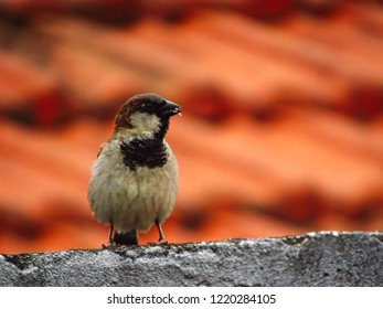 Small sparrow eating birdseed, with feathers bristling, perched on the edge of the roof, sao paulo, brazil