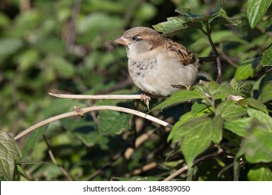 Small Sparrow in the hedgerow