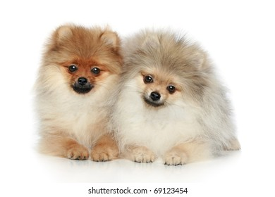 Small Spitz Puppies (5 months) on a white background