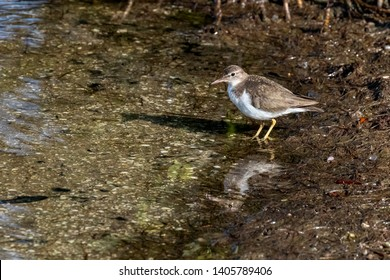 A small spotted sandpiper, with non-breeding plumage, hunts along the water's edge at Ding Darling National Wildlife Refuge on Sanibel Island, Florida.