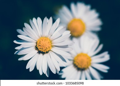 small spring daisy flower on blooming on green lawn with shallow focus