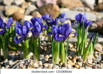 Small spring flowers in the garden, Tiny violet blue irises on gravel flower bed, Iris reticulata or Dwarf iris, Iridaceae, bulbaceous plant