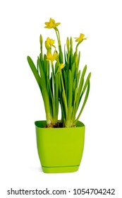 Small spring flowers in a green flowerpot.Isolated