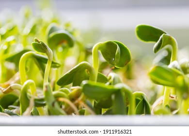 Small Spring sprout in horticultural farm. Concept of a green life.  Ecology and environment background.