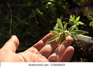 Small sprouts of cannabis bush, hemp in hand. Growing marijuana