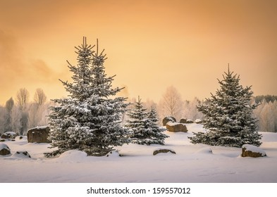small spruces in snowy park