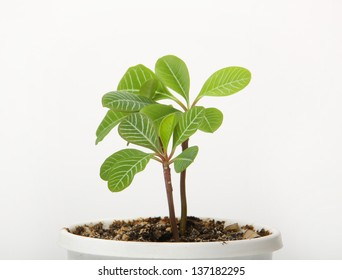 A small spurge in a pot, isolated on white background