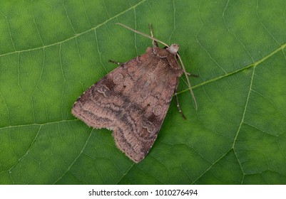 Small Square-spot moth ( Diarsia rubi ) in the family Noctuidae. Sitting on a green leaf.