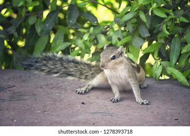Small squirrel in gardens of Red Fort, Agra, India.