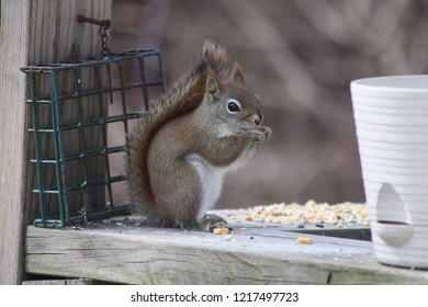 small squirrel with a tail curved up over its back eating birdseed on a porch railing