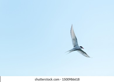 A small stern bird flying against a pale blue sky. The bird's white and grey wings are spread open with its dark head down. It has a forked tail.