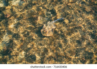 small stingray in clear water