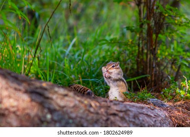 A small striped Chipmunk eats pine nuts from a cone with a mouthful of nuts. Rodent nutrition in the wild