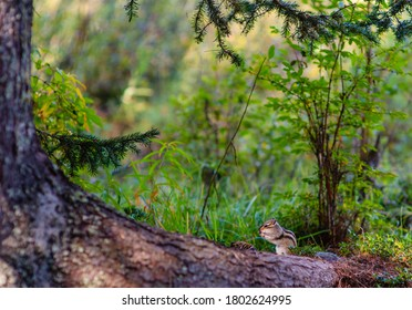 A small striped Chipmunk sits on the roots of a giant tree and eats. Rodent nutrition in the wild