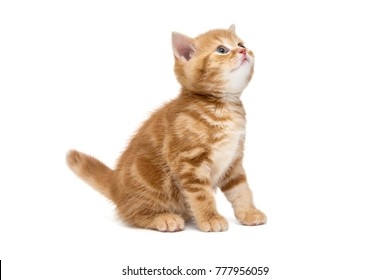 Small striped kitten breed British marble looking up, isolated on white