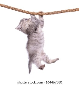 small striped kitten Scottish tabby breed. animal hanging on a rope isolated on white background
