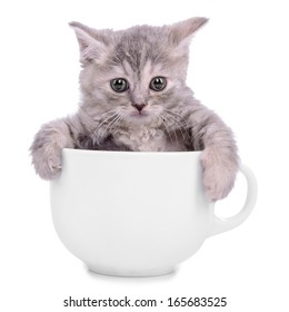 small striped kitten Scottish tabby breed. animal in a ceramic cup on white background