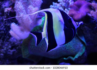Small striped sea fish in aquarium water