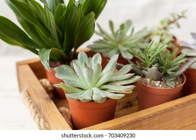 Small succulents on the wooden tray