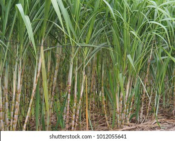Small sugarcane plantations planted at home. To use sugar cane juice. Use as a drink or as a food ingredient.