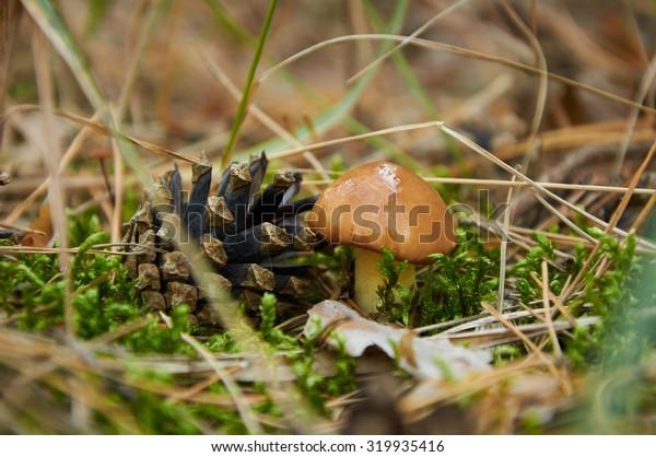Small Suillus luteus mushroom near the pine cone