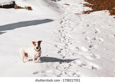 Kleine süße zarte weiße und braune Buchse auf einem Schneeweg im Winter mit Fußabdrücken