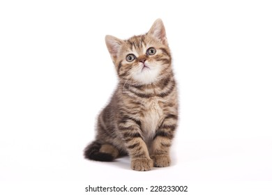 Small tabby British kitten on white background. Cat sitting.