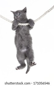 small tabby gray cat baby hanging on rope, white background, isolated