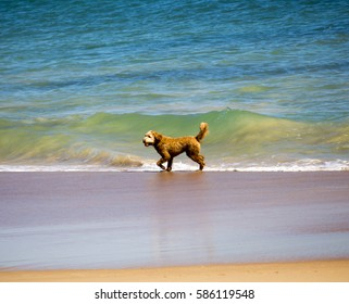 A small tan curly coated friendly  pet dogs is  playing near the ocean frolicking in the waves as they lap onto the  sandy beach on a fine spring afternoon .