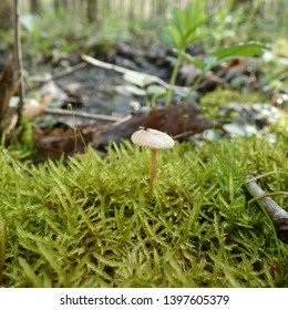 Small tan mushroom growing out of moss with a gnat on it