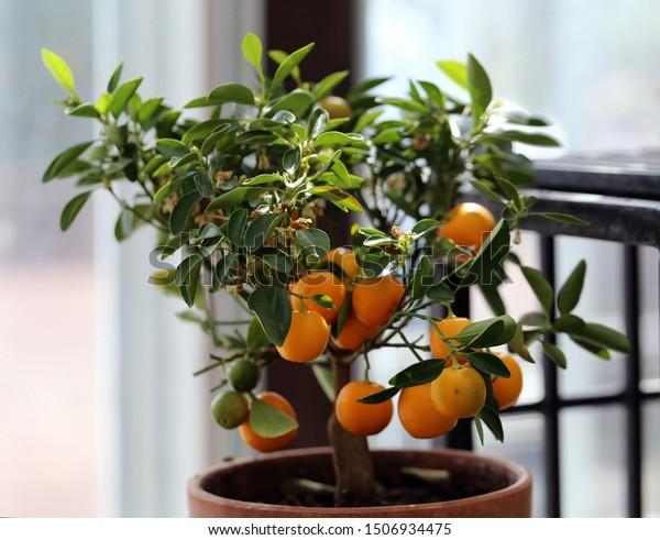 Small Tangerine Tree Indoor Garden This Parks Outdoor