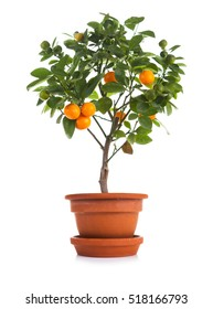 Small tangerines tree in pot