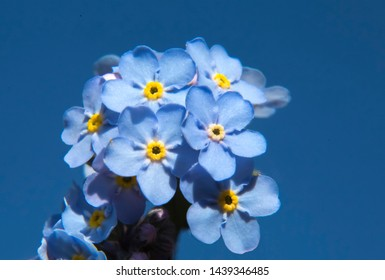 Small tender flowers of forget-me-not against the blue sky